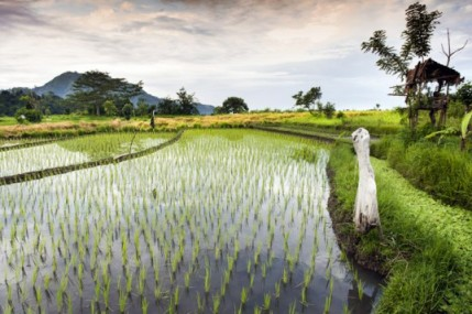rice-paddy1-537x357