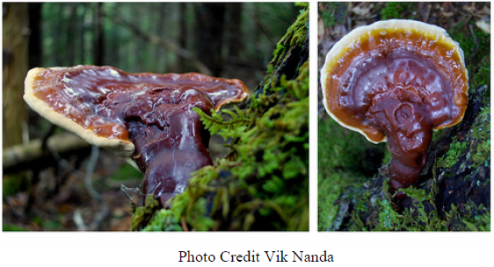 reishi.photo credit vik nanda